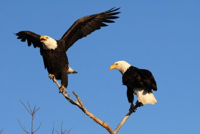 Attend a Bald Eagle Watch Tour thisJanuary